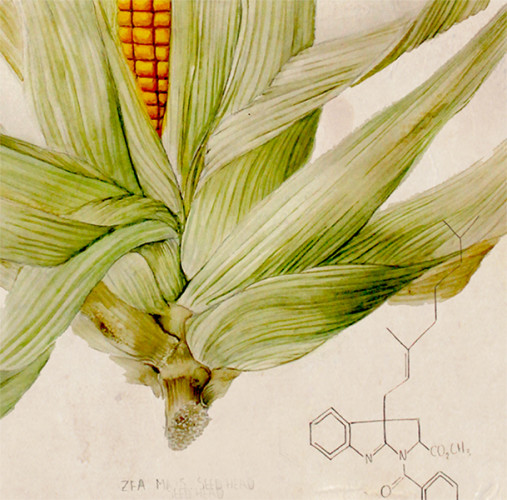 Taxonomy of Modern Corn. Detail
